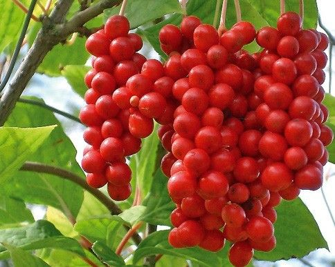 Schizandra From Lucidera and Natural and Organic schizandra For Body Purification