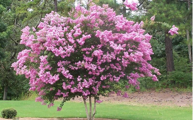 Flowering Tree Varieties